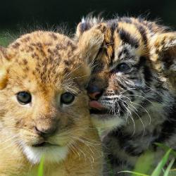 tigri leoni yoga